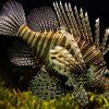 lionfish scuba dive