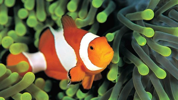 anemonefish-scuba-diving-day-trip-phuket-thailand